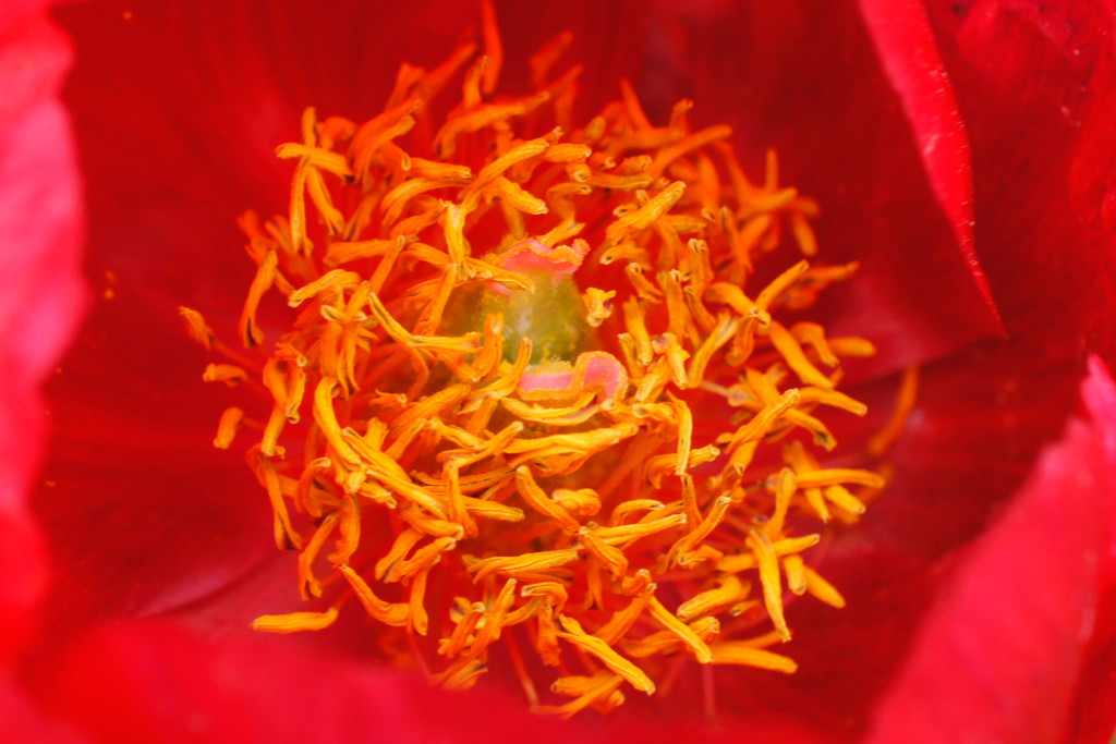 Poppy (Hatfield House)